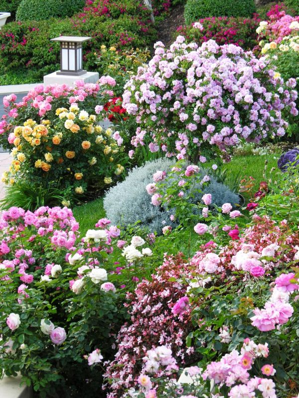 Garden Design Roses for Landscaping