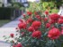 Garden idea roses